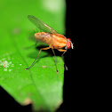 Slender Orange Bush Fly
