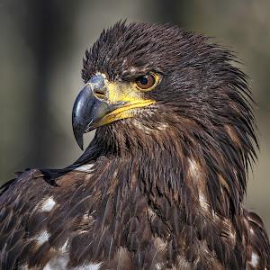 hawk-4.jpg