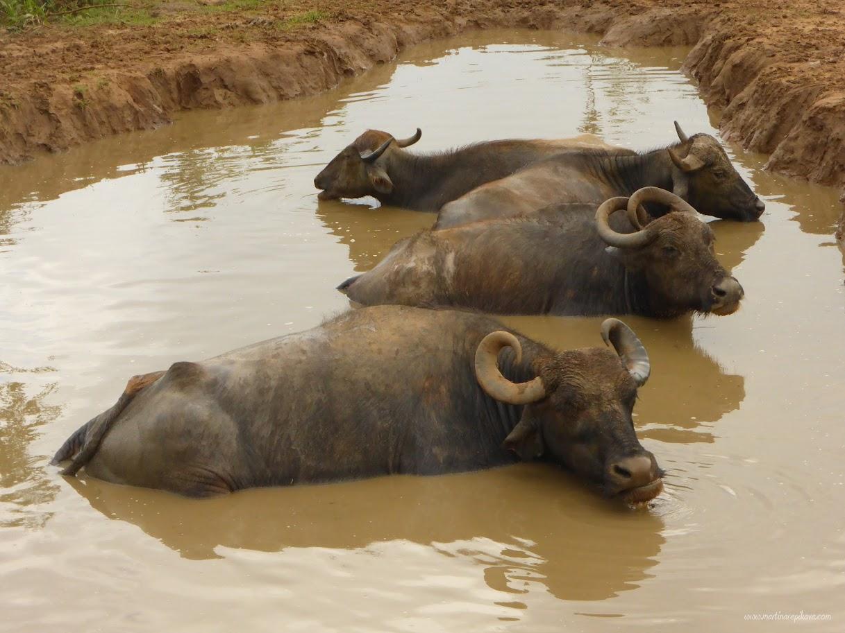 Water buffaloes in a water hole, Uda Walawe, Sri Lanka