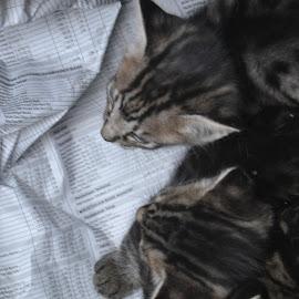 Sleeping together by Diadjeng Laraswati H - Animals - Cats Kittens (  )
