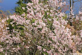 Photo: 拍攝地點: 梅峰-梅楓園 拍攝植物:暖地櫻桃 拍攝日期: 2014_02_18_FY