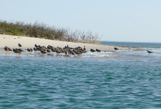 Photo: Shorebirds gather at mouth of mangrove inlet from bay.