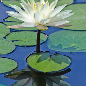 Waterlily by Jaime Rosiles - Nature Up Close Flowers - 2011-2013 ( reflection, waterlily, plants, flowers )