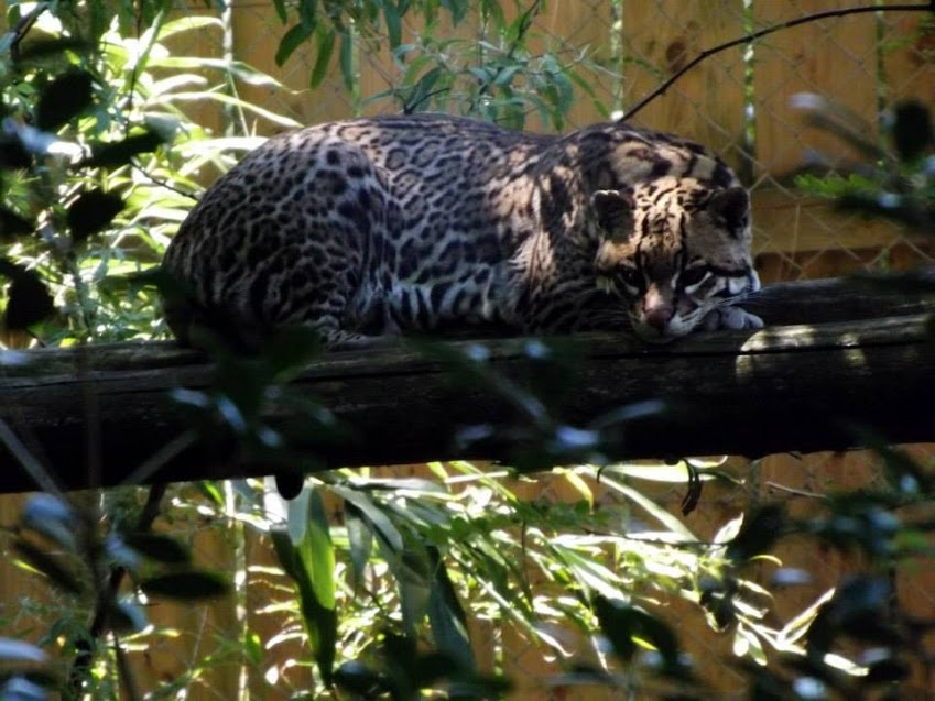 Ocelot, Zoo de la Flèche - Tous droits réservés