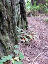 Photo: Forest floor plants backed up not against a rock wall but a gigantic tree
