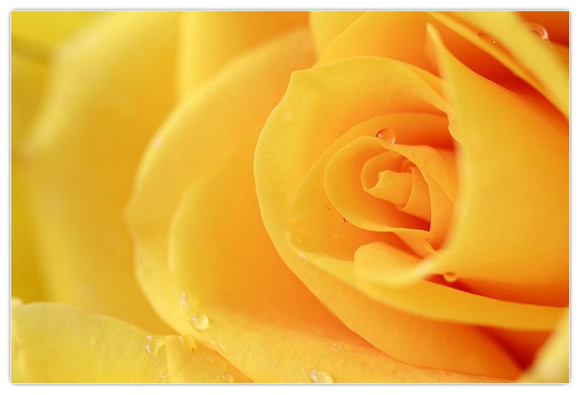 Hoa hồng vàng mang đến niềm vui và sự ấm áp