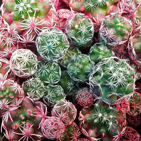Tiny cactus balls by Donna Probasco - Novices Only Flowers & Plants (  )