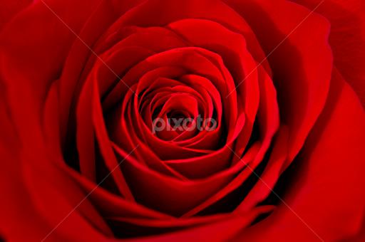 Happy Valentine S Day Single Flower Flowers Pixoto