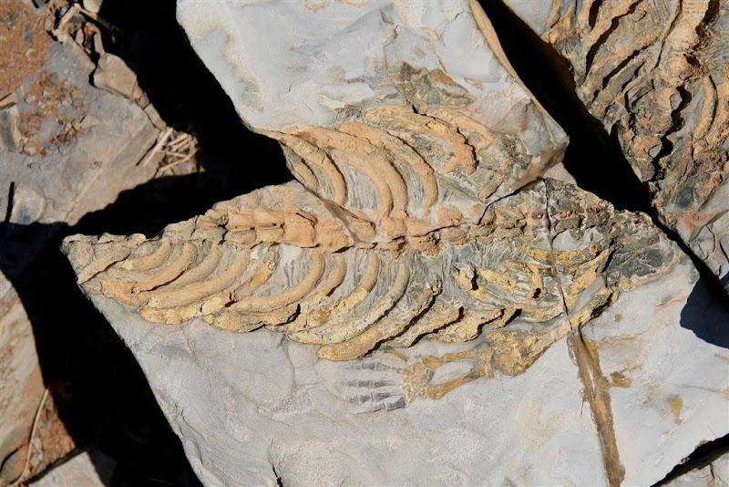 OneStonedCrow: Mesosaurus Fossils - Mesosaurus tenuidens