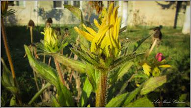 Photo: Floarea comoară, Gazania-margaretă (Gazania spp) - de pe Str. Constructorilor Bloc C2 - 2016.11.11