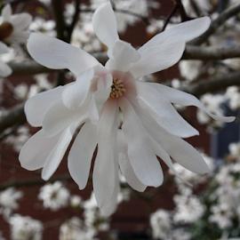 Magnolia by Christine Meeske - Flowers Tree Blossoms ( blooms, trees, spring bloom, flowers, magnolia )