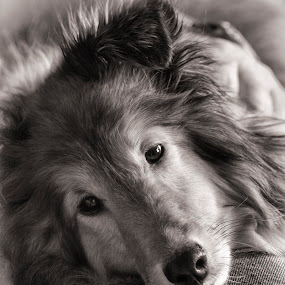 Her Master's Lap by Pat Eisenberger - Animals - Dogs Portraits ( sheepdog, pet, dog, sheltie, shetland, animal,  )