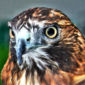Red Tail Hawk by Richard Moyen - Animals Birds ( red, beek, feathers, tail, red tail hawk, hawk, eyes )