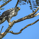 Grey-lined hawk