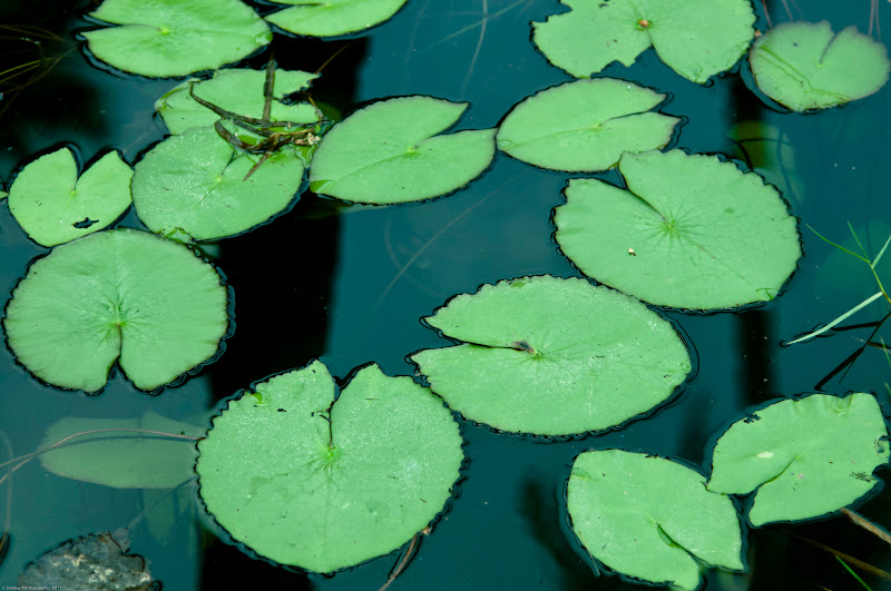 Photo: Lily pads in a pond.  (c) Sridhar Parthasarathy 2012