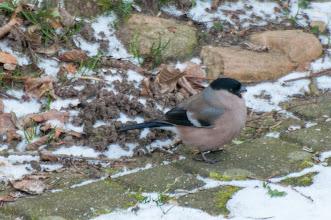 Photo: Bullfinch (Gimpel); Iserbrook, DE