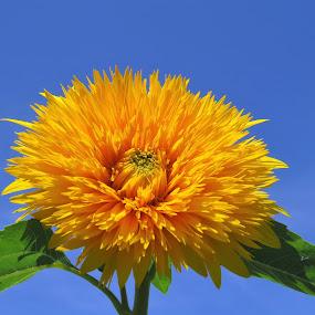 by Maricor Bayotas-Brizzi - Flowers Single Flower (  )