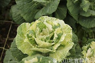 Photo: 拍攝地點: 梅峰-一平臺 拍攝植物: 葉牡丹 拍攝日期:2012_08_30_FY