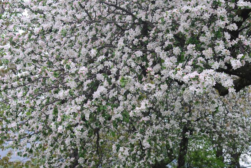 Melo selvatico in fiore di Manu66