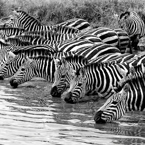 Quenching Thirst by Pravine Chester - Black & White Animals ( mammals, animals, serengeti, black and white, african wildlife, africa, tanzania, zebras,  )