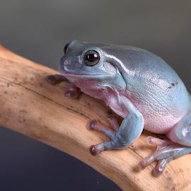 Green Frog by Fiona Etkin - Animals Amphibians ( studio, nature, frog, amphibian, animal,  )