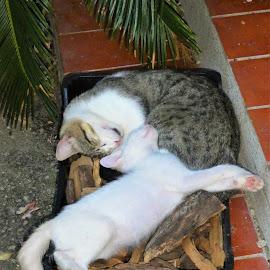 Cats take a nap... by Svetlana Saenkova - Animals - Cats Portraits ( nap,  )