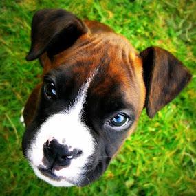 I am a good boy by Annie Japaud - Animals - Dogs Portraits ( boxer puppy, boxer, boxer dog, puppy, pwcbabyanimals-dq, dog )