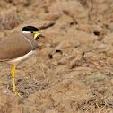 Lapwing  -  Yellow-wattled Lapwing