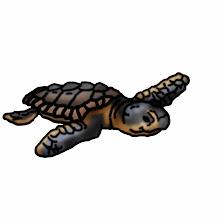 Photo: Junge Meeresschildkröte