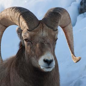 big horn sheep by Francois Larocque - Animals Other Mammals ( face, big horn sheep, winter, snow, mammal, eye )