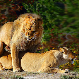 Mating by Gérard CHATENET - Animals Lions, Tigers & Big Cats
