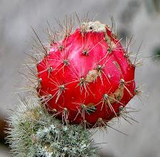 Photo: Cactus fruit at a nearby resort, Casa Mojanda