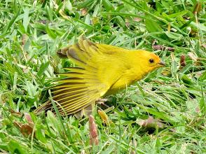 Photo: Saffron Finch in the grass at Howard & Laurel's rented condo atKanaloa at Kona (near Keauhou Bay)
