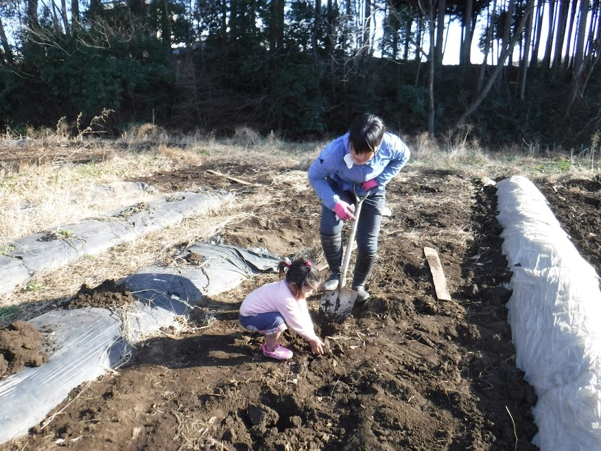 2017年の里芋の防寒作業。シャベルで土を掘るのも重労働でした。