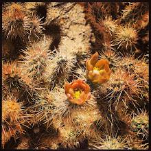 Photo: Cylindropuntia echinocarpa