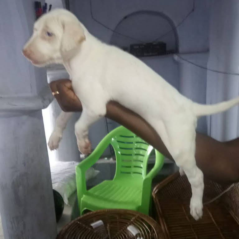 Rajapalayam dog sales - Dog Breeder