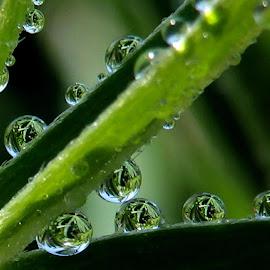 Water drops by Ann Marie - Uncategorized All Uncategorized ( water, reflection, green, dew, drops, dew drops,  )