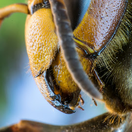 Head of gigant wasp by Roger Carlsson - Animals Insects & Spiders ( wasp, macro, jaws, fur, antennas, spikes, wings legs, facette eyes, yellow, black, facette, gigant wasp )
