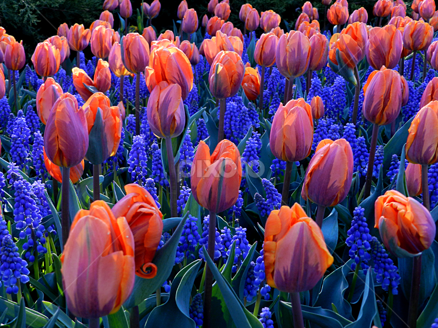 Royal Tulip Dance                 by Kerry  Milligan - Nature Up Close Gardens & Produce ( pwcflowergarden, , colorful, mood factory, vibrant, happiness, January, moods, emotions, inspiration )