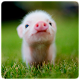 Mini Pig Wallpapers for PC-Windows 7,8,10 and Mac