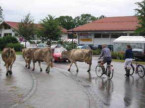Photo: HohenSchwangau. Bringing in the cattle.