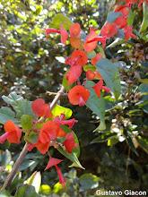 Photo: Chapeuzinho Chinês ou Para-Sol Vemelho ( Holmskioldia sanguinea )