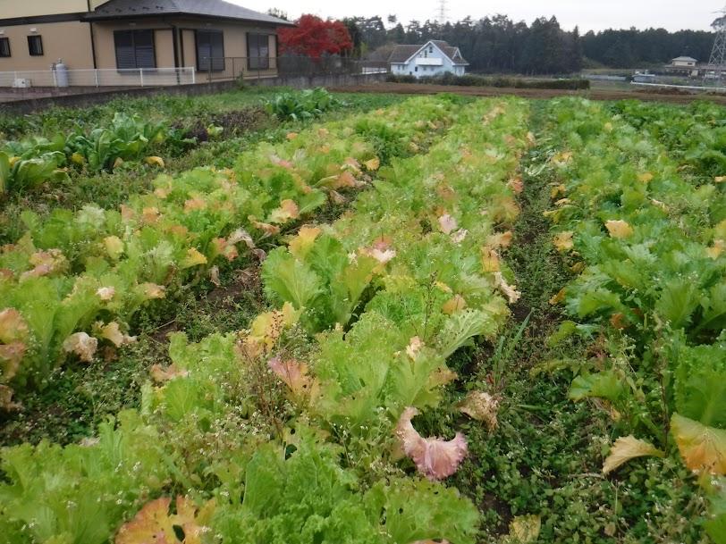 山東菜が紅葉しています