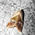 Army moth?