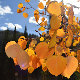 Aspens in Autumn by Jacqueline Newman - Landscapes Forests ( utah, mountains, leaves, big cottonwood, aspen,  )