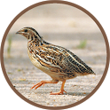 Quail Bird Sounds icon