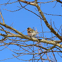 Common chaffinch, Buchfink