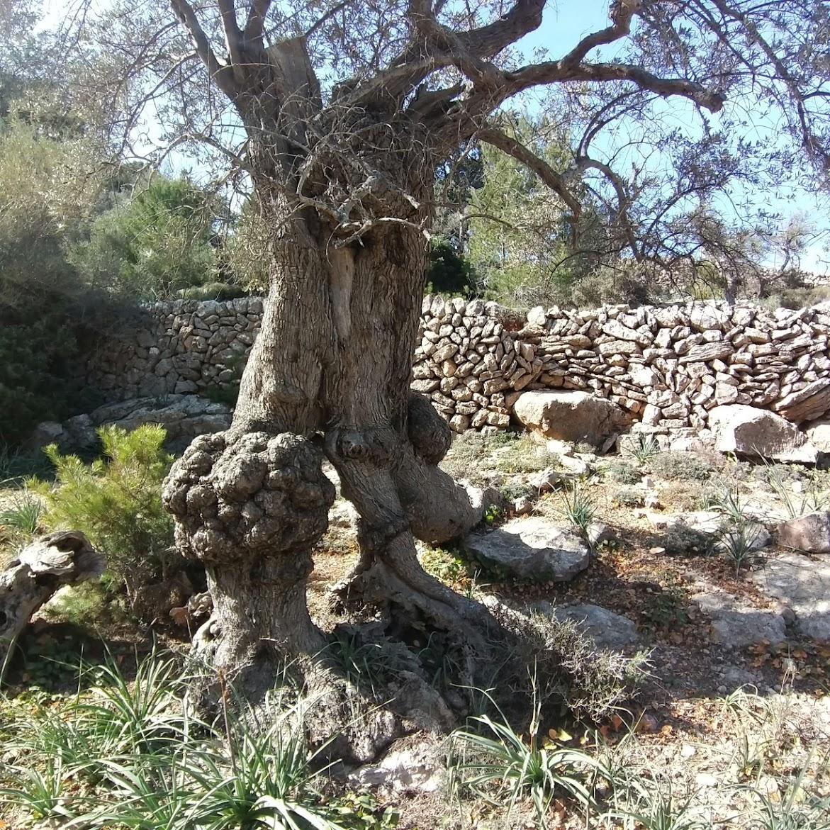 Olivenbäume auf Mallorca haben häufig knorrige, verschlungene Stämme - Bild Susanne Reuter