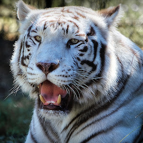 White Tiger by AsDigiClicks Photography - Animals Lions, Tigers & Big Cats