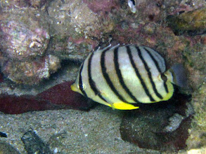Photo: Eight-banded Butterflyfish